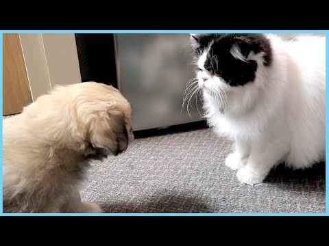 PUPPY AND FAT CAT MEET!