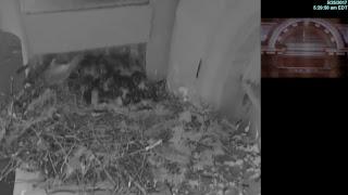 Syracuse University  Red-Tailed Hawk Nest Cam: LIVE
