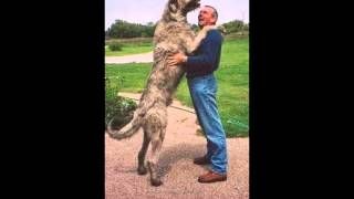 top 5 largest dogs