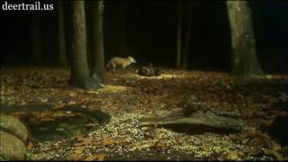 Cam Four View Of The Red Fox On (10-25-16)