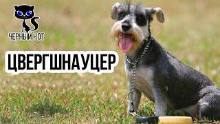 Цвергшнауцер / Интересные факты о собаках
