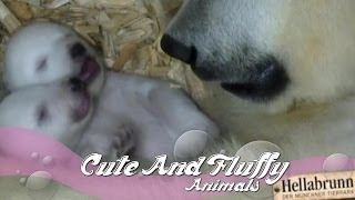 Polar bear cubs open eyes for the first time!