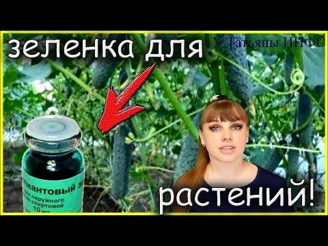 Как лечить ОГУРЦЫ зеленкой?! Чем замазать раны ДЕРЕВЬЕВ после обрезки?!