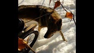 Jazda rowerowa po lesie zimą, spotkanie z wilkiem - 2018