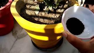 जांचे परखे फर्टिलाइजर गुड़हल के लिए प्रयोग करेंTried and tested fertilizers for hibiscus fast growth