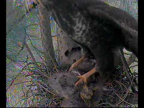 BUZZARD KILLS BABY wood pigeons - YouTube