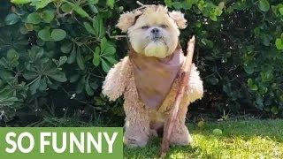 Ewok Dog Outfits Goldenacresdogs