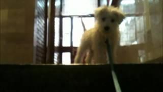 Julian's First Walk (white Miniature Schnauzer Puppy)