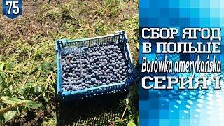 #75.Сбор ягод в Польше - Borówka amerykańska.Серия I