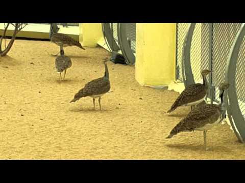 Houbara Bustard at Arabia's Wildlife Centre in Sharjah طائر الحبارى في الشارقة