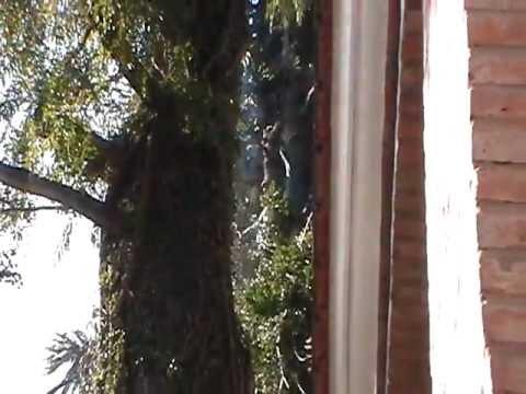 PODA Y REDUCCION DE ARAUCARIA ARAUCANA EN  BUENOS AIRES 4258-1271 video 6.