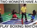 Two monkeys have a boxing match **funny**