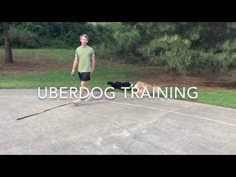 UberDog Training Bernese Mountain Dog