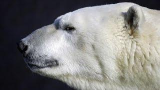 Сэр Варк, это Белый медведь по-ненецки (Белый Медведь Описание)