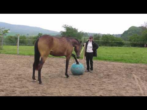 Dama, Young Horse Training, Online Ground Work Basics 1