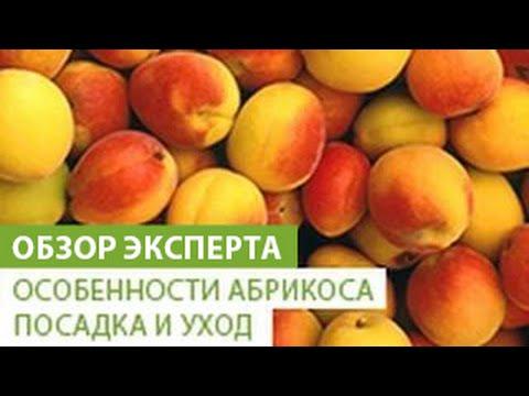 Особенности абрикоса. Посадка и уход за абрикосом