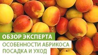 Особенности абрикоса. Посадка и уход за абрикосом(В этом видео наш эксперт расскажет Вам о том абрикосе, его особенностях и уходе за ним. Приобрести саженец..., 2014-07-23T07:51:42.000Z)