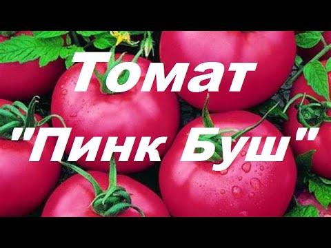 "Томат ""Пинк Буш"" 2 месяца после посадки"
