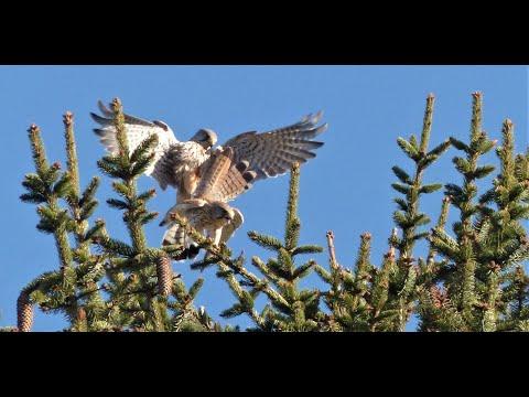 accouplement faucons