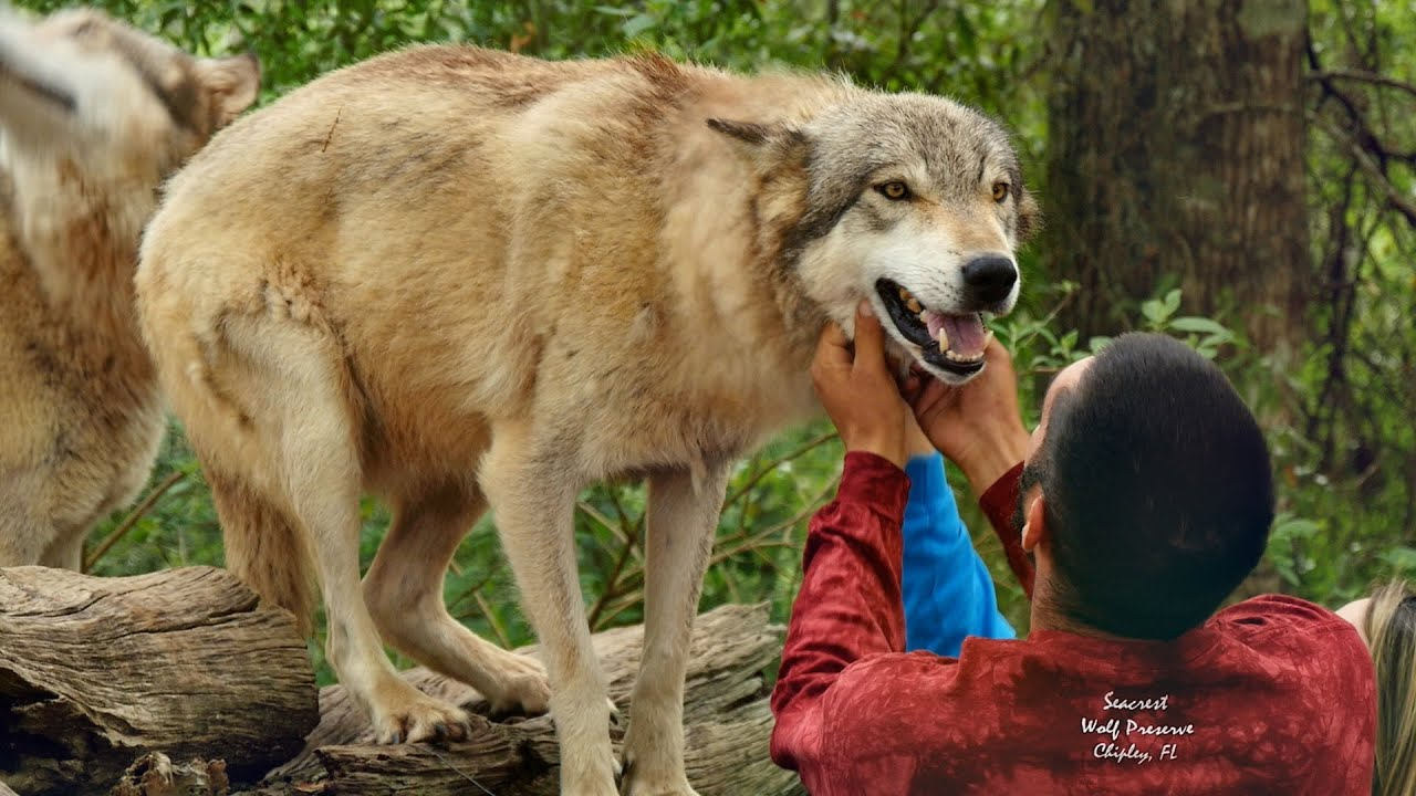Playing With Wolves in Florida  YouTube