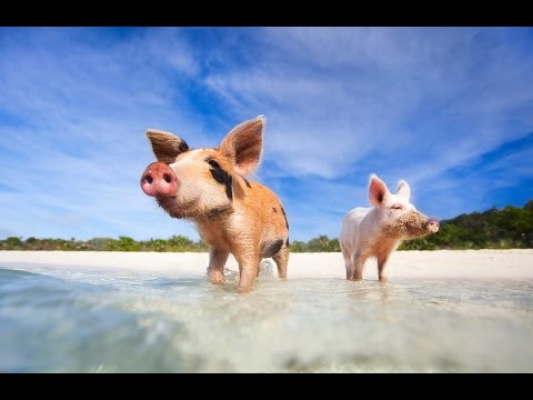 Swimming Pigs in Exuma - The Most Unique Travel Experience In The World