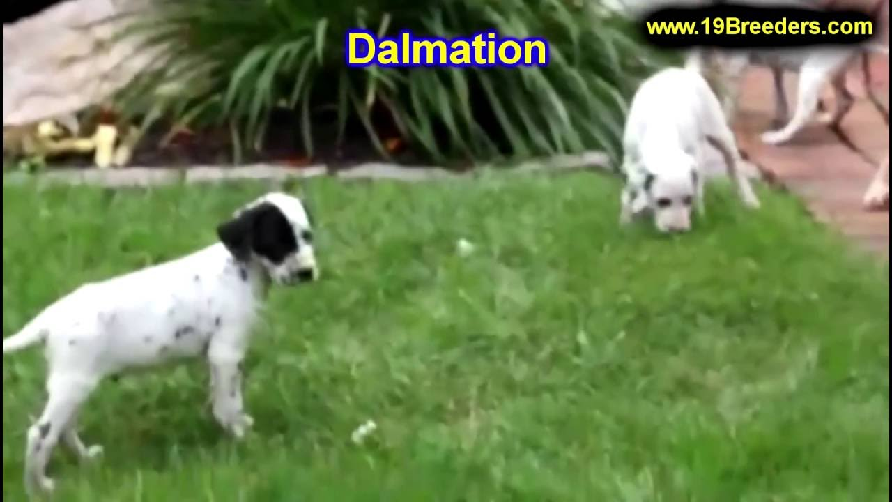 Dalmatian, Puppies, Dogs, For Sale, In Anchorage, Alaska, AK ...