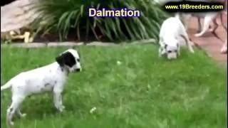 Dalmation, Puppies, For, Sale, In, Anchorage, Alaska,AK, Fairbanks, Juneau, Eagle River