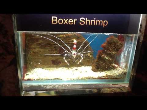 Boxer shrimp
