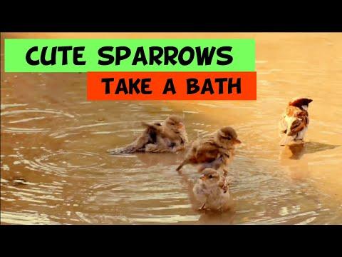 Cute Sparrows taking a Bath