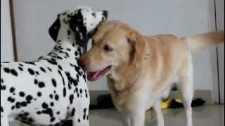 Dalmatian And Labrador.mov