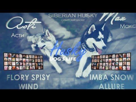 (Асти + Макс ФОТОПОДБОРКА ч.1) Веселые и смешные сибирские хаски, Funny dogs