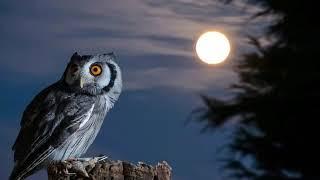 اجمل صوت البومه في اليل  《صوت مرعب😱》