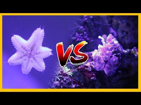 Asterina Starfish Vs Harlequin Shrimp!