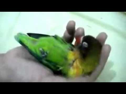 Trusting tamed lovebird