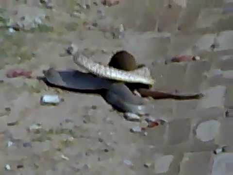 Mongoose vs snake fight on Road most shocking video - YouTube