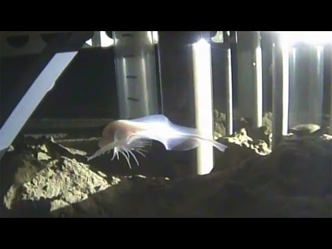 Deepest fish ever recorded in the Mariana Trench