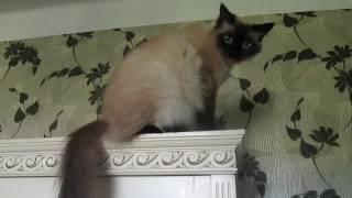 Беременная кошка забралась на шкаф.