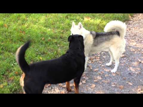 Malamute, Rottweiler and Hovaward meeting each other at the Dog Park