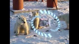 Белые медведи.пос.- Северный Новая Земля(уникальное видео о животном мире и людях НОВОЙ ЗЕМЛИ, ПЕЙЗАЖИ И ЛЮДИ. ИХ БЫТ - ЭТО ВИДЕЛИ НЕ МНОГИЕ В МИРЕ..., 2013-04-19T05:08:43.000Z)