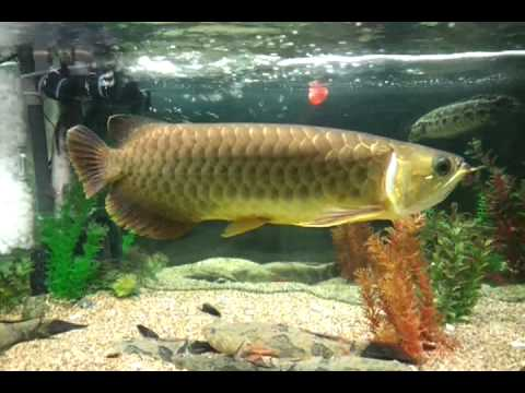 Updated on 9th Oct 2011 - Asian Arowana, Forest Snakehead & Marble Goby (Soon Hock)