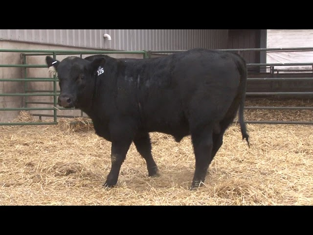 Schiefelbein Angus Farms Lot 326