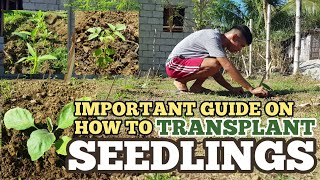 HOW TO TRANSPLANT SEEDĻINGS | Tips You Must Know Vlog 30
