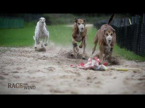 RACE THE WIND 22 - Greyhound Track (Offenbach/Germany) • Galgo Levrier Windhund Dog Saluki Chasse