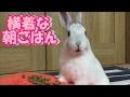 [うさぎ] 可愛い 子うさぎ 横着な朝ごはん (Rabbit)