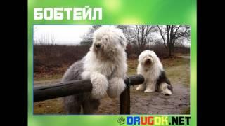 видео КУРИЛЬСКИЙ БОБТЕЙЛ ХАРАКТЕР - Характер, болезни, фото и уход
