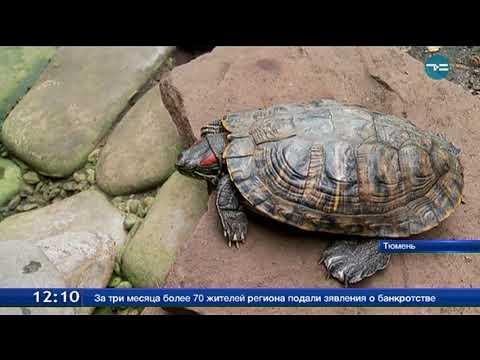 Вопрос: Как узнать, умерла или легла в спячку сухопутная черепаха?