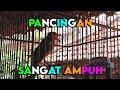Pancingan Ampuh Agar Anis Merah Lain Nyaut Emosi Dan Gacor  Mp3 - Mp4 Download