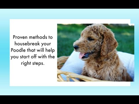 How To Potty Train Poodle Puppy Tips To House Training Poodle Potty Train Your Poodle Ea