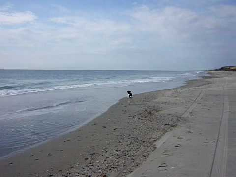 Roxy the English Pointer running by the ocean in North Carolina.MOV