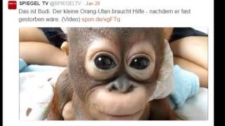 Thank you for showing baby orangutan Budi what love is....
